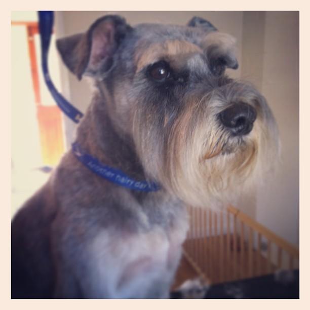 Rupert #schnauzer  #dog  #doggroomer