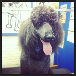 Duffy the #labradoodle #dog  #dogsofinstagram #groomers