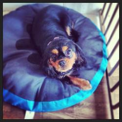 Waiting to go home #cavalier #spaniel #dogsofinstagram #doggroomer