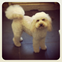 #cockerpoo #dog #dogsofinstagram