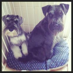 #schnauzer #puppy #doggroomer #dog