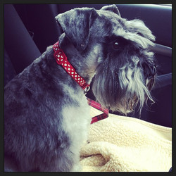 Exam dog Vinnie on the way home with our pass with merit, woohoo #schnauzer #doggrooming #dogsofinst