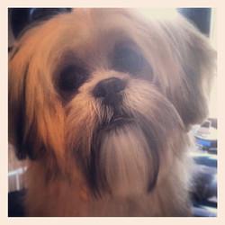 #lhasa #dog #puppy