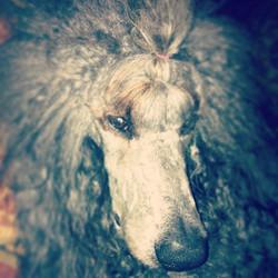 #poodle #dog