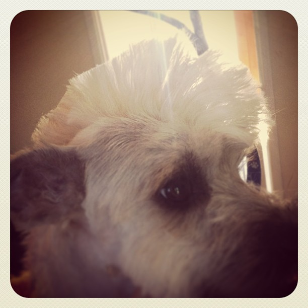 Mohican dog #dog #punk