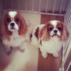 #cavalier #dog  #doggroomer