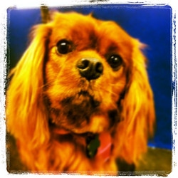 #cavalier #cav #dog  #dogsofinstagram