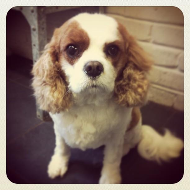 Lola #dog #dogsofinstagram  #cavalier #doggroomer