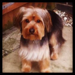 #tintin #yorky #yorkshireterrier #dog #puppy #dogsofinstagram #dogs