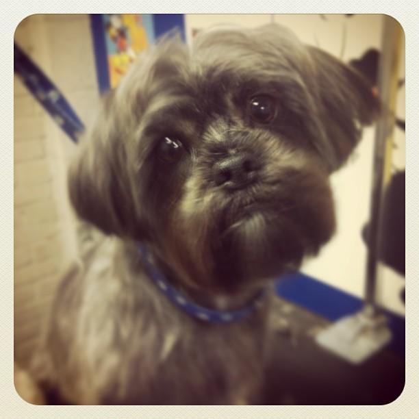 #shihtzu x #yorkie #dog