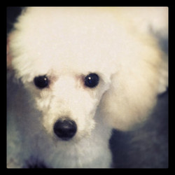 #jackapoo in #poodle trim #doggroomer #dog #puppy