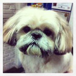 #shihtzu #dogs #dogsofinstagram #doggroomer