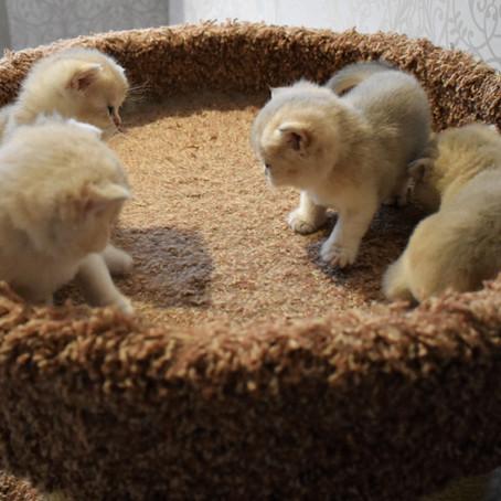 Котятки нашего Питомника...