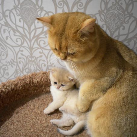 "Блог Питомника ""Family of Golden Kittens"""
