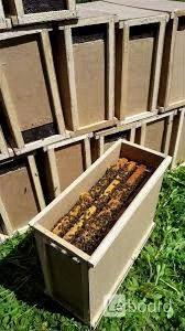 Пчелопакеты Buckfast (UA) 2021г.