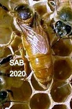 Buckfast (UA) SAB (к.с плодка)