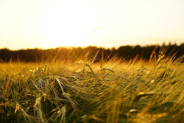Getreide sonnenuntergang