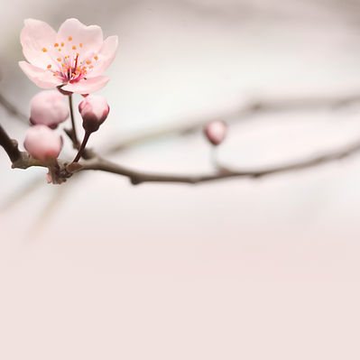 Spring header with with pink flower, bud