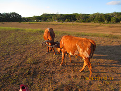 Long horn, Texas