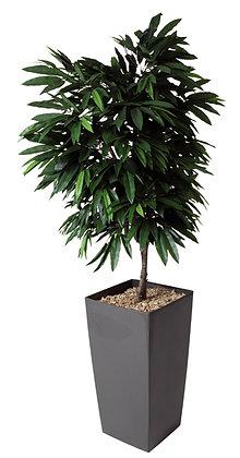 Plante MANGUIER