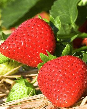 erdbeere-frucht-2405384-blp-fotolia.jpg