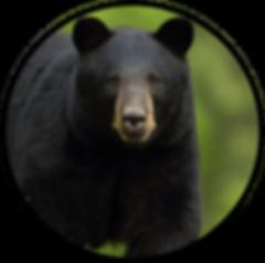 SCO - Bear.png