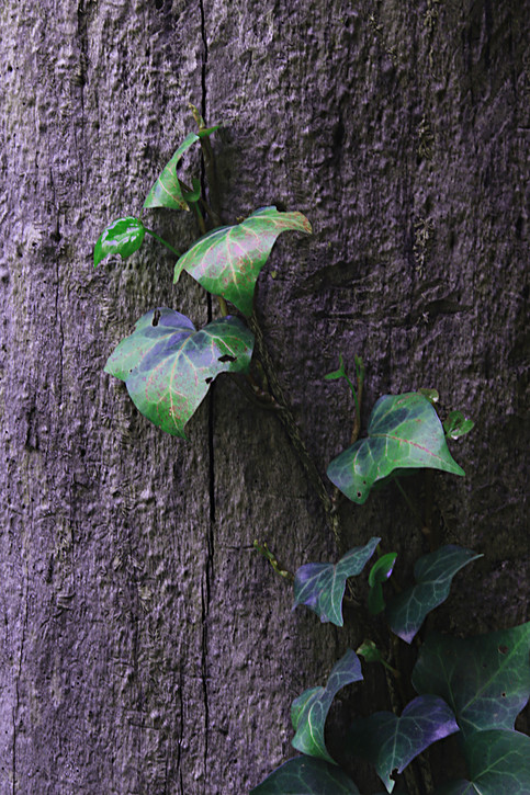 Casa Rafael Galván. Enredadera sobre la base del árbol seco I.