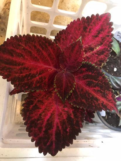 Red Velvet Coleus