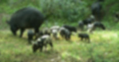 8. Invasive Wild Pig Research and Monito