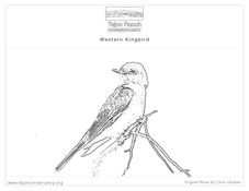 Western Kingbird.jpg