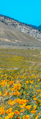 A pronghorn poses amongst California poppies