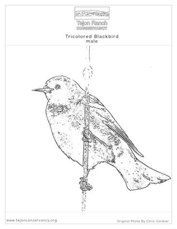 Tricolored Blackbird, male.jpg