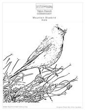 Mountian Bluebird.jpg
