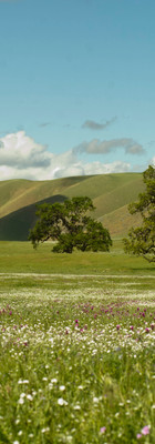 Valley oaks, popcorn flowers and owl's clover in the San Joaquin Valley