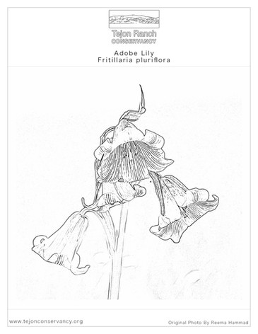 Adobe Lily Coloring Page