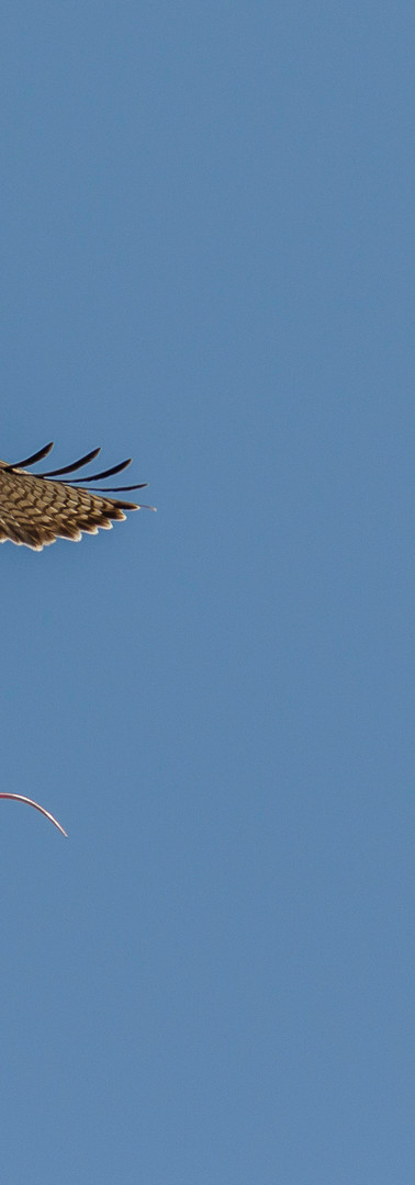 A red-tailed hawk flies off with its prey