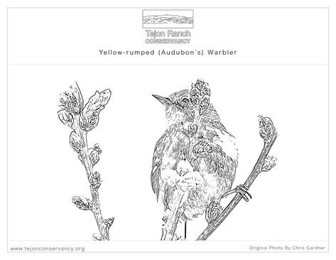 Yellow-rumped (Audubon's) Warbler.jpg