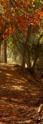 Late summer color of California buckeye and live oak