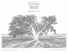 Sycamore Tree Coloring Page