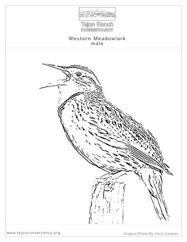 Western Meadowlark.jpg