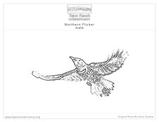 Northern Flicker.jpg