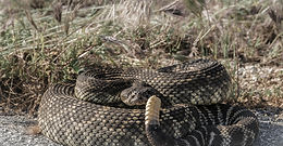 TEJON RANCH SNAKES ARE LOVING THE WEATHER