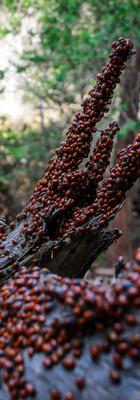 Lady beetles (aka lady bugs) swarm fallen trees