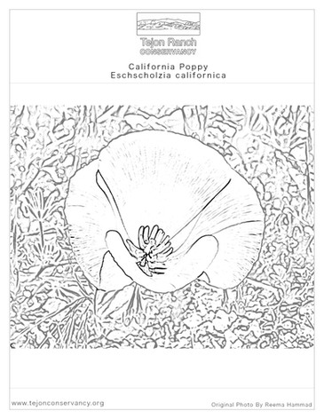 Ca Poppy Coloring Page
