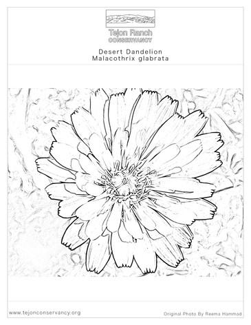 Desert Dandelion Coloring Page