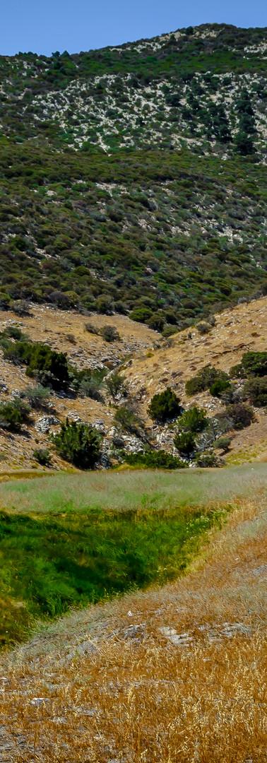 A lone pronghorn assesses danger