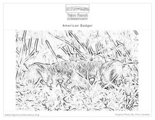 American Badger Coloring Page