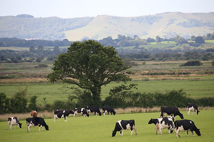 cows + landscape.JPG