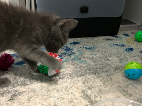 Holiday - The Memorial Day Kitten