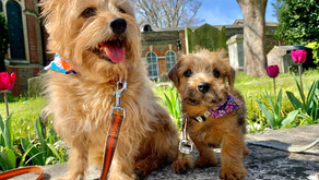 Two's Company - Introducing a second dog to your home!